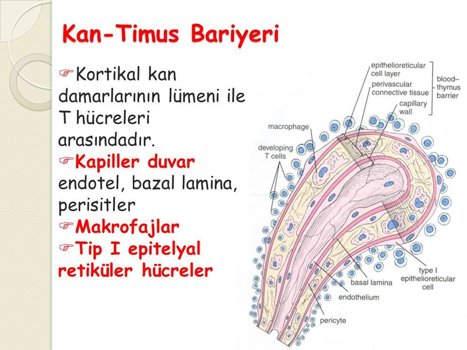Kan-Timus Bariyeri Kortikal kan damarlarının lümeni ile T hücreleri arasındadır. Kapiller duvar; endotel, bazal lamina, perisitler.