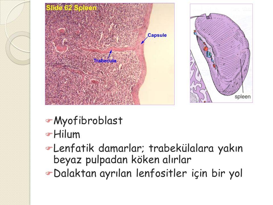 Myofibroblast Hilum. Lenfatik damarlar; trabekülalara yakın beyaz pulpadan köken alırlar.