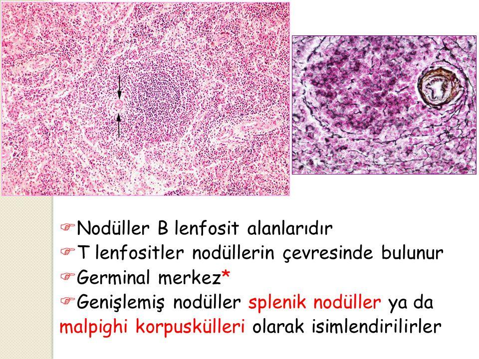Nodüller B lenfosit alanlarıdır