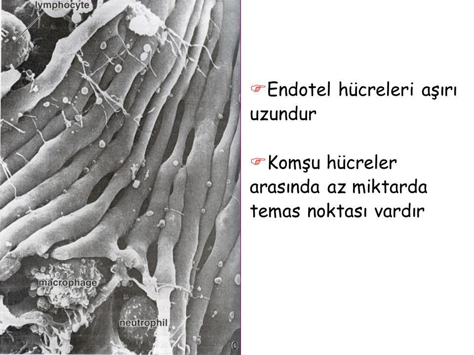 Endotel hücreleri aşırı uzundur