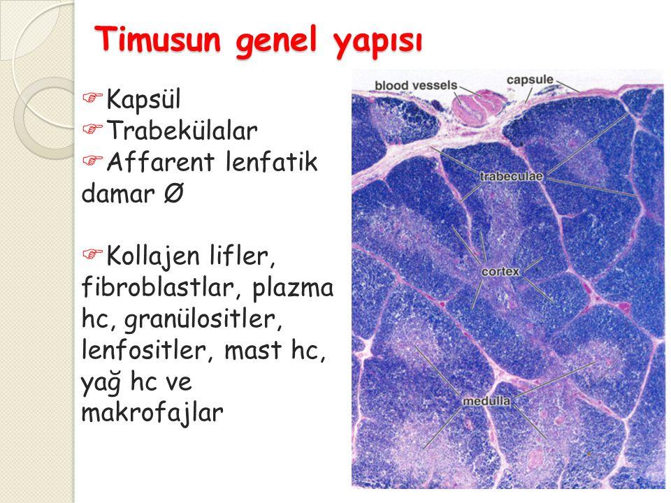 Timusun genel yapısı Kapsül Trabekülalar Affarent lenfatik damar Ø