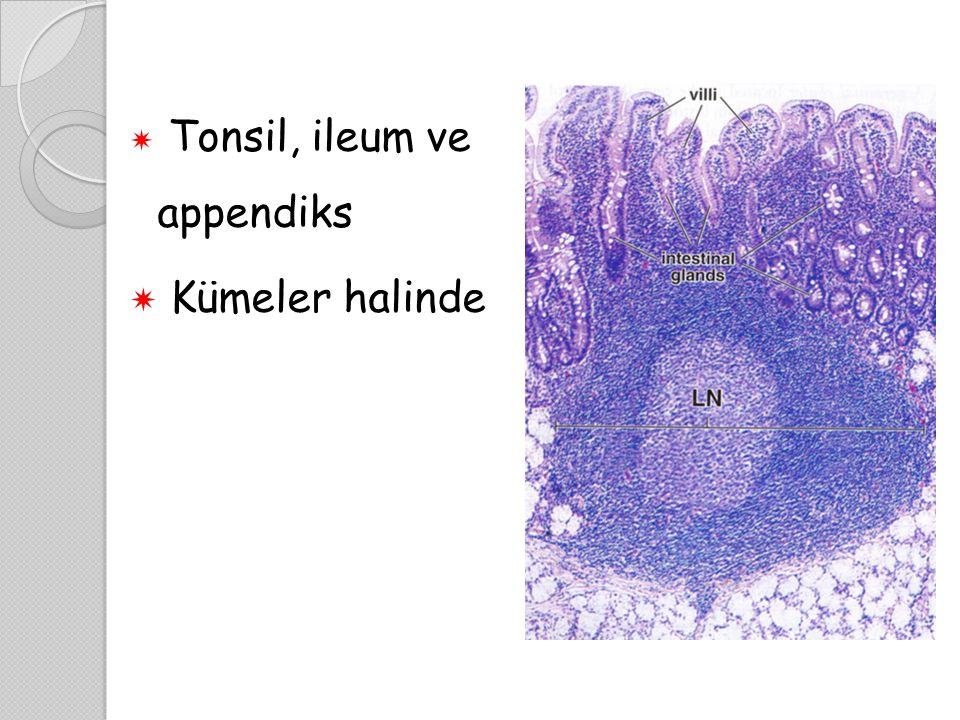 Tonsil, ileum ve appendiks