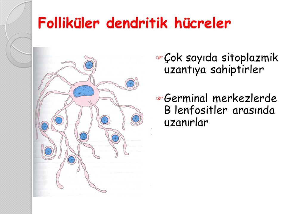 Folliküler dendritik hücreler