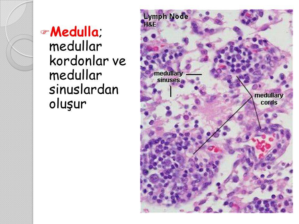 Medulla; medullar kordonlar ve medullar sinuslardan oluşur