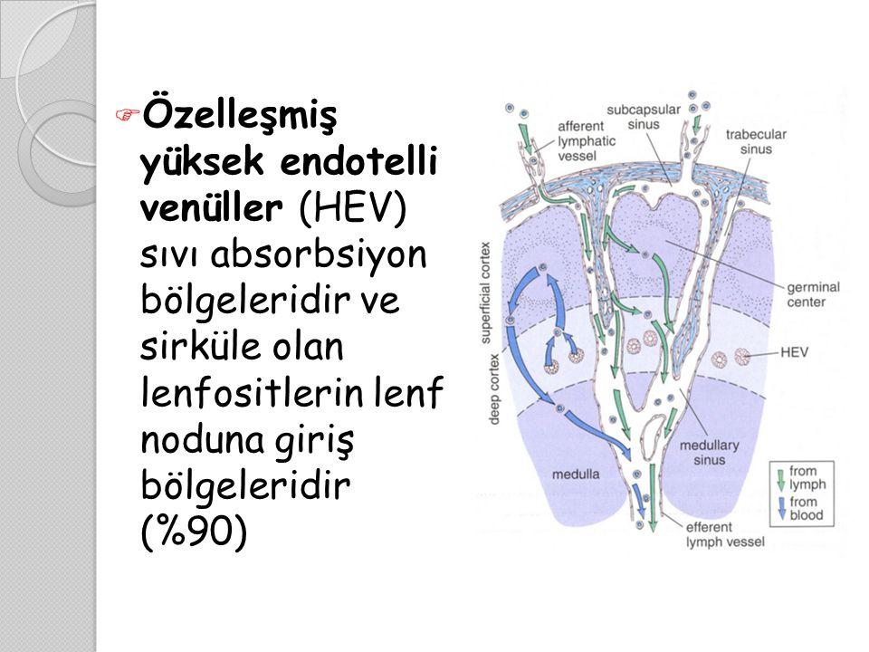 Özelleşmiş yüksek endotelli venüller (HEV) sıvı absorbsiyon bölgeleridir ve sirküle olan lenfositlerin lenf noduna giriş bölgeleridir (%90)