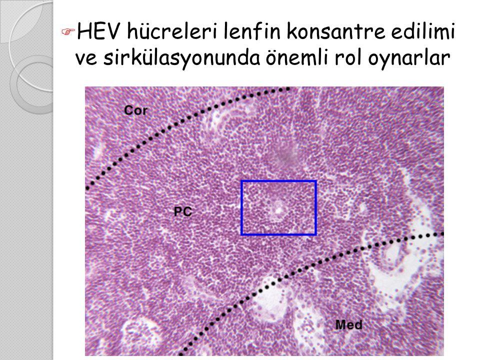 HEV hücreleri lenfin konsantre edilimi ve sirkülasyonunda önemli rol oynarlar