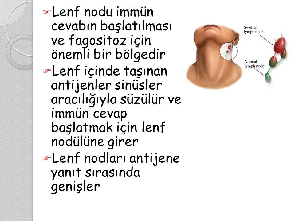 Lenf nodu immün cevabın başlatılması ve fagositoz için önemli bir bölgedir