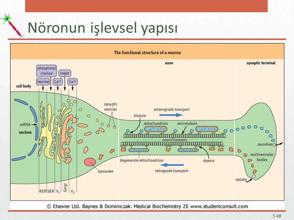 Nöronun işlevsel yapısı