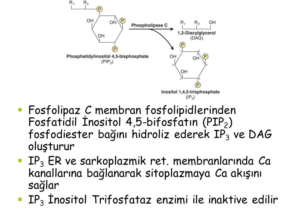 Fosfolipaz C membran fosfolipidlerinden Fosfatidil İnositol 4,5-bifosfatın (PIP2) fosfodiester bağını hidroliz ederek IP3 ve DAG oluşturur