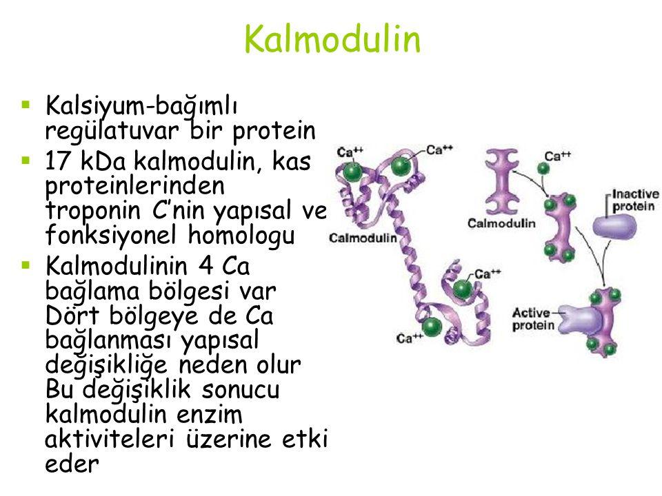Kalmodulin Kalsiyum-bağımlı regülatuvar bir protein
