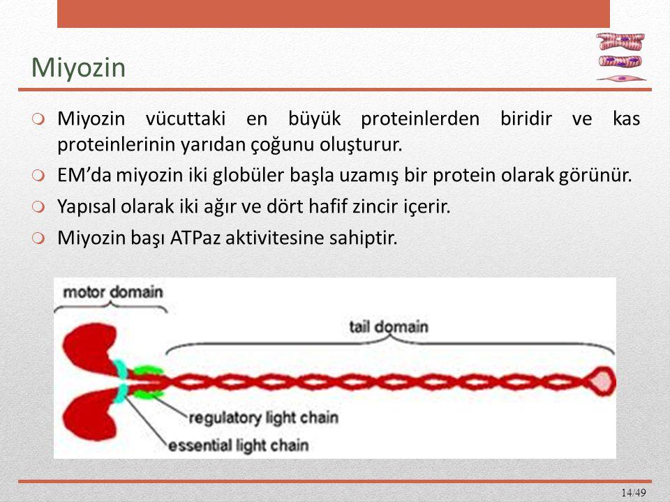 Miyozin Miyozin vücuttaki en büyük proteinlerden biridir ve kas proteinlerinin yarıdan çoğunu oluşturur.