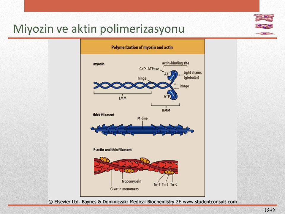 Miyozin ve aktin polimerizasyonu