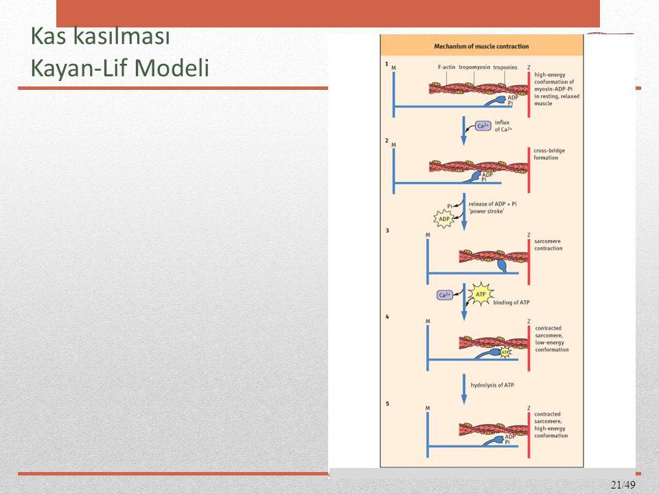 Kas kasılması Kayan-Lif Modeli