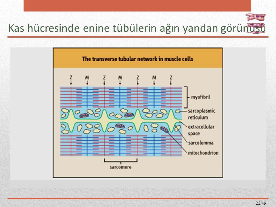Kas hücresinde enine tübülerin ağın yandan görünüşü