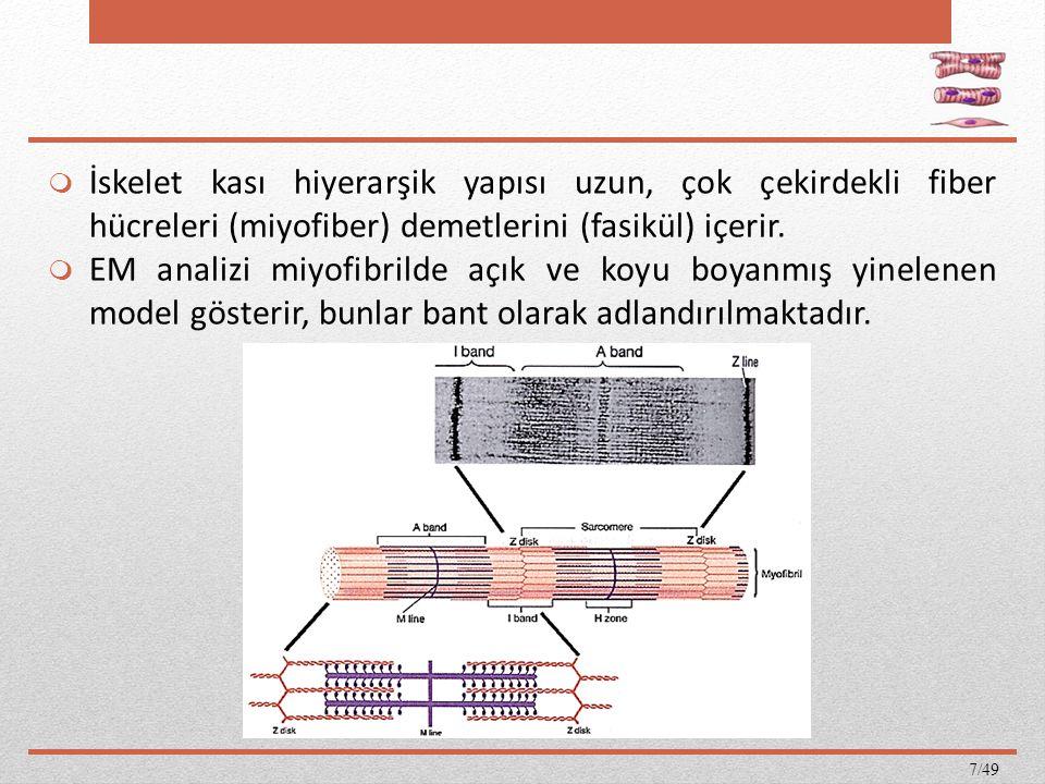İskelet kası hiyerarşik yapısı uzun, çok çekirdekli fiber hücreleri (miyofiber) demetlerini (fasikül) içerir.