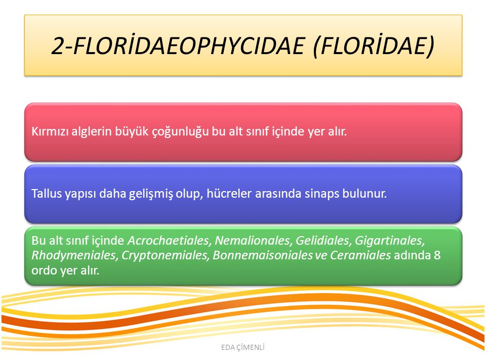 2-FLORİDAEOPHYCIDAE (FLORİDAE)