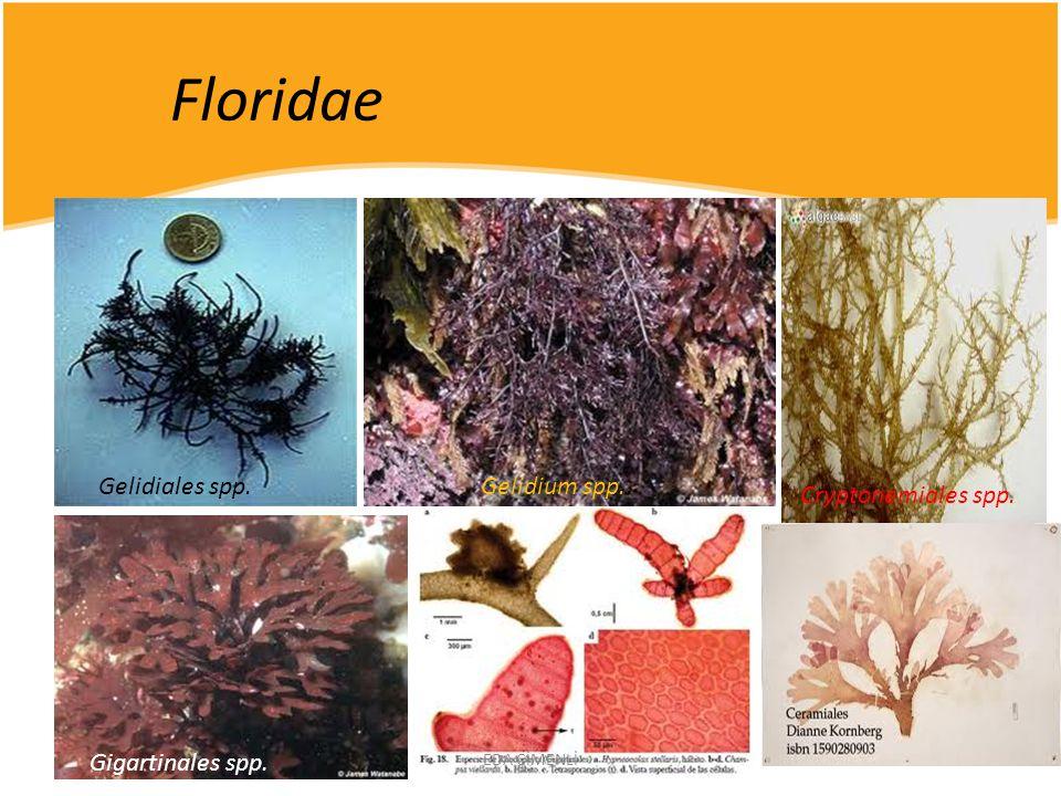 Floridae Gelidiales spp. Gelidium spp.. Cryptonemiales spp.