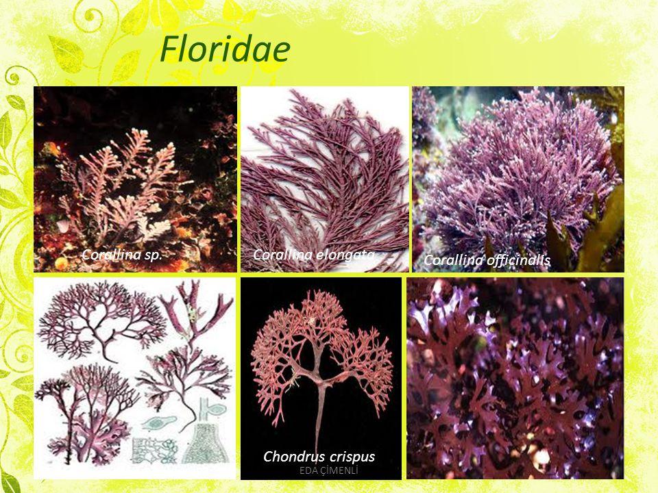 Floridae Corallina sp. Corallina elongata Corallina officinalis