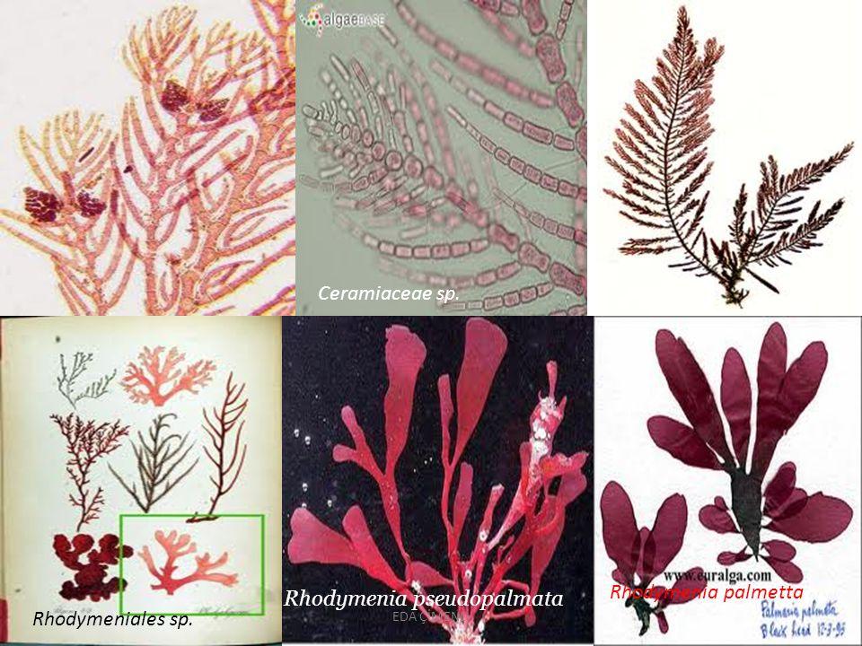 Rhodymenia pseudopalmata Rhodymeniales sp.