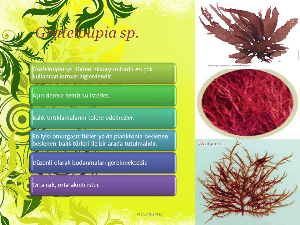 Grateloupia sp. EDA ÇİMENLİ