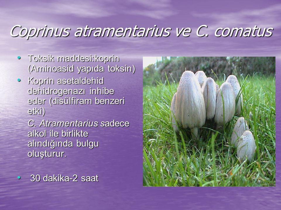 Coprinus atramentarius ve C. comatus