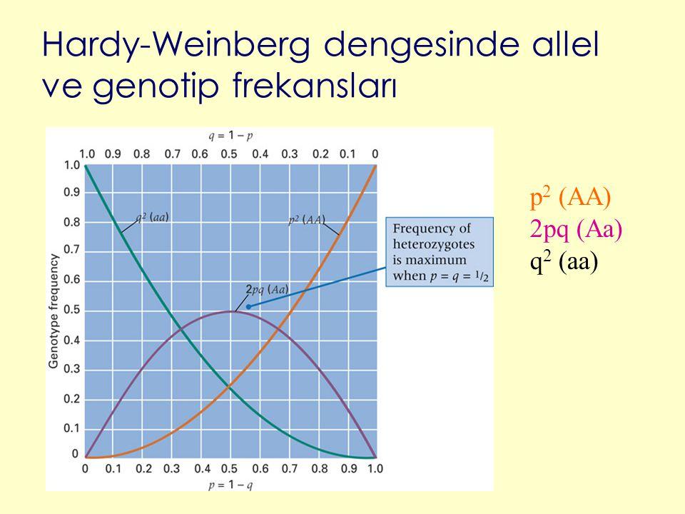 Hardy-Weinberg dengesinde allel ve genotip frekansları