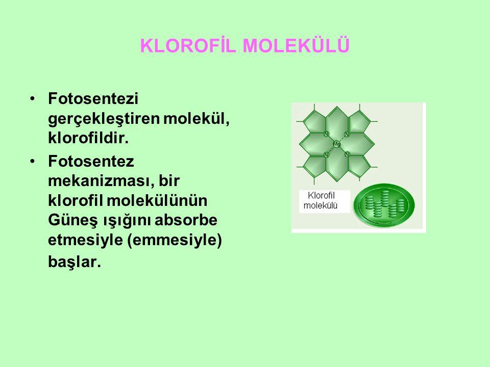 KLOROFİL MOLEKÜLÜ Fotosentezi gerçekleştiren molekül, klorofildir.