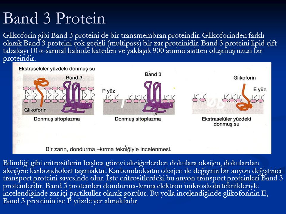 Band 3 Protein