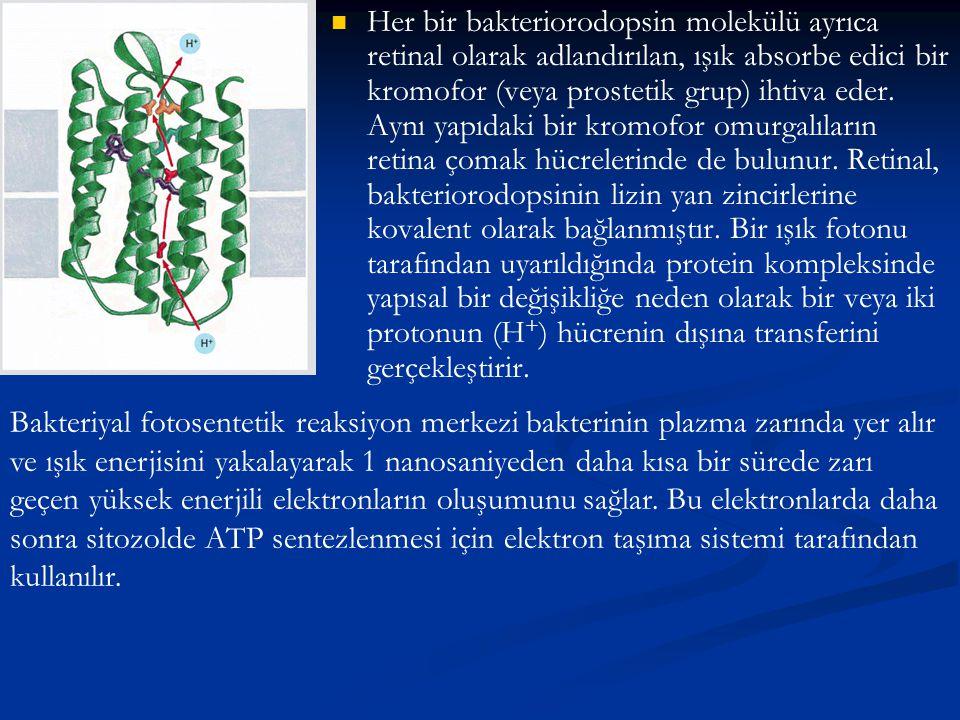 Her bir bakteriorodopsin molekülü ayrıca retinal olarak adlandırılan, ışık absorbe edici bir kromofor (veya prostetik grup) ihtiva eder. Aynı yapıdaki bir kromofor omurgalıların retina çomak hücrelerinde de bulunur. Retinal, bakteriorodopsinin lizin yan zincirlerine kovalent olarak bağlanmıştır. Bir ışık fotonu tarafından uyarıldığında protein kompleksinde yapısal bir değişikliğe neden olarak bir veya iki protonun (H+) hücrenin dışına transferini gerçekleştirir.