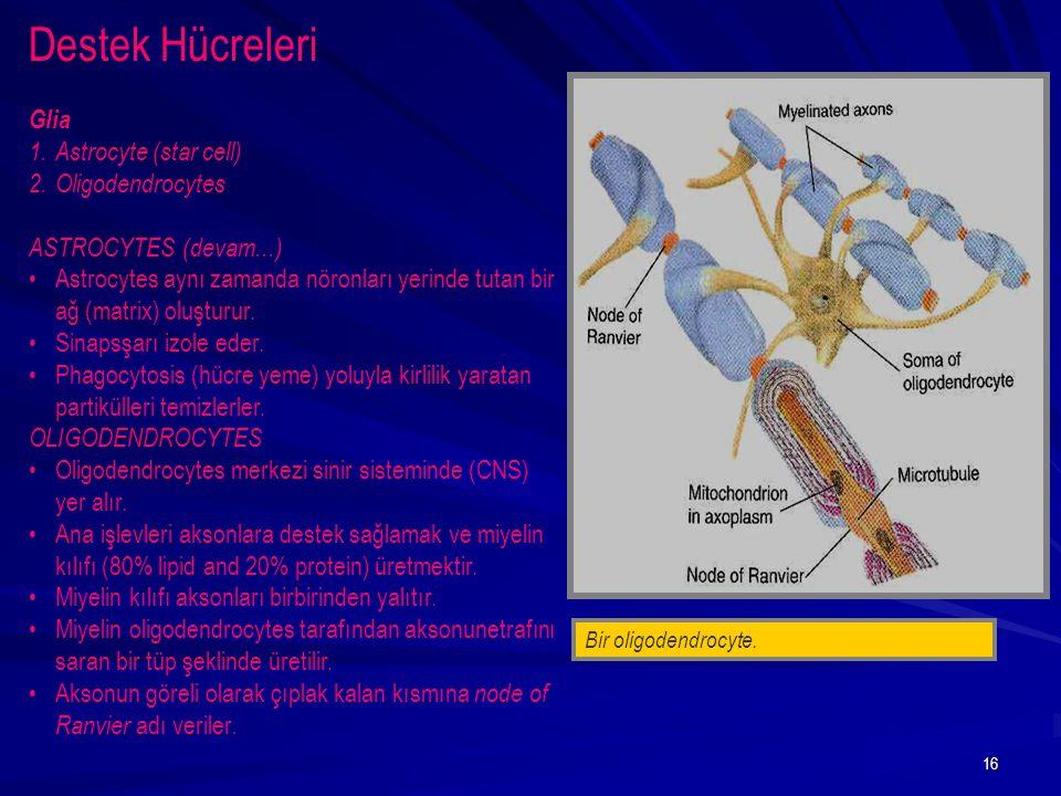 Destek Hücreleri Glia Astrocyte (star cell) Oligodendrocytes