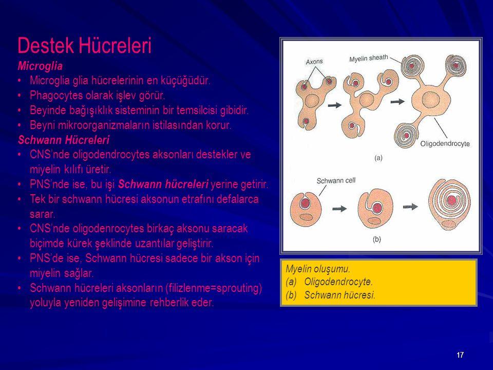 Destek Hücreleri Microglia Microglia glia hücrelerinin en küçüğüdür.