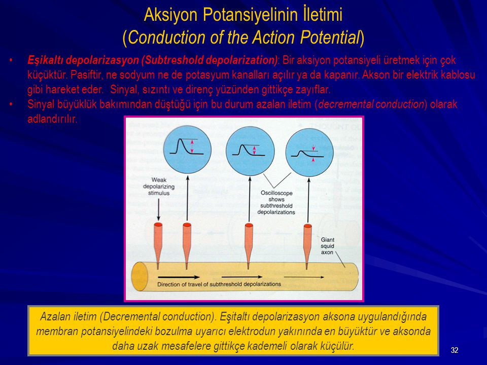 Aksiyon Potansiyelinin İletimi (Conduction of the Action Potential)