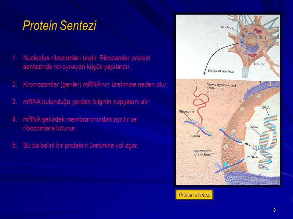 Protein Sentezi Nucleolus ribozomları üretir. Ribozomlar protein sentezinde rol oynayan küçük yapılardır.