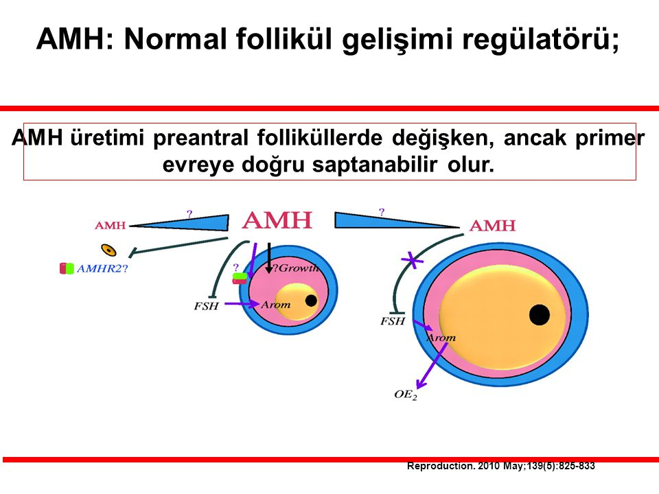 AMH: Normal follikül gelişimi regülatörü;