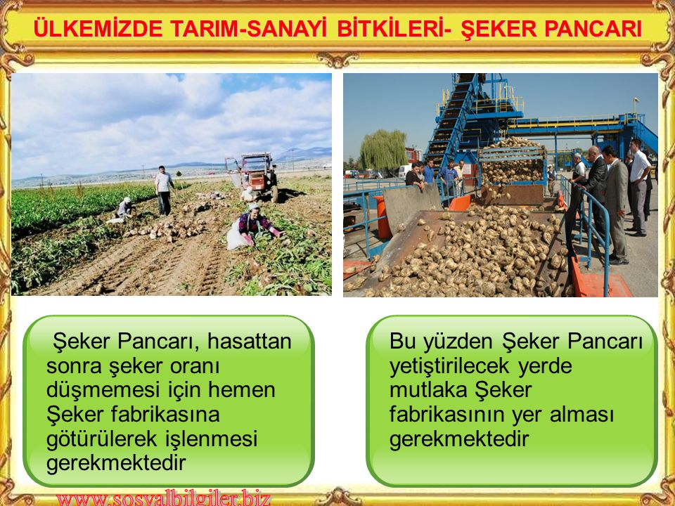 ÜLKEMİZDE TARIM-SANAYİ BİTKİLERİ- ŞEKER PANCARI