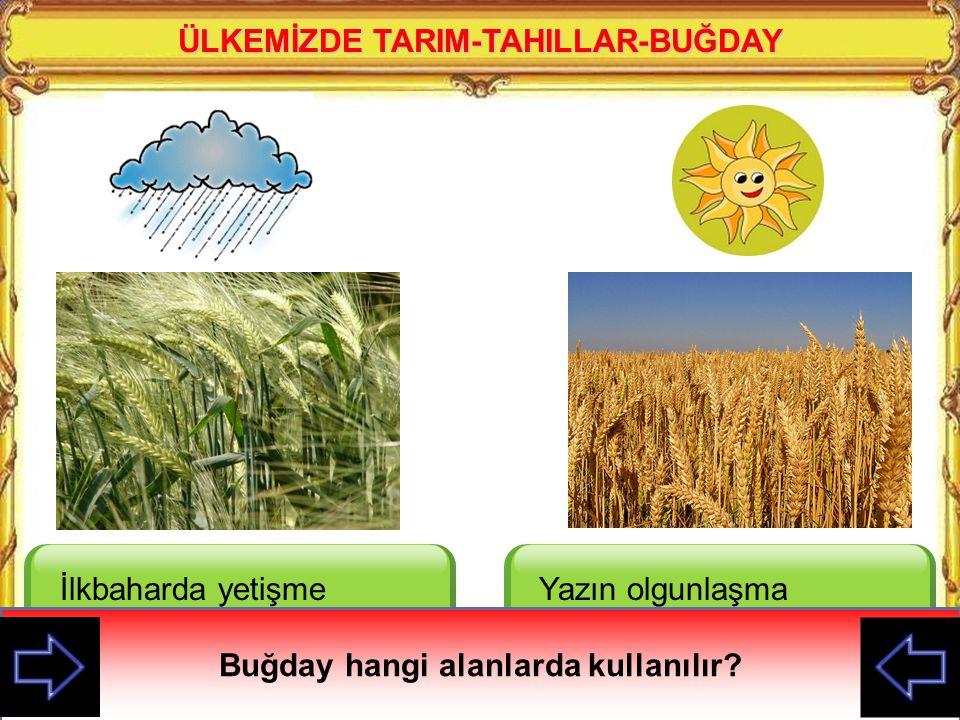 ÜLKEMİZDE TARIM-TAHILLAR-BUĞDAY Buğday hangi alanlarda kullanılır
