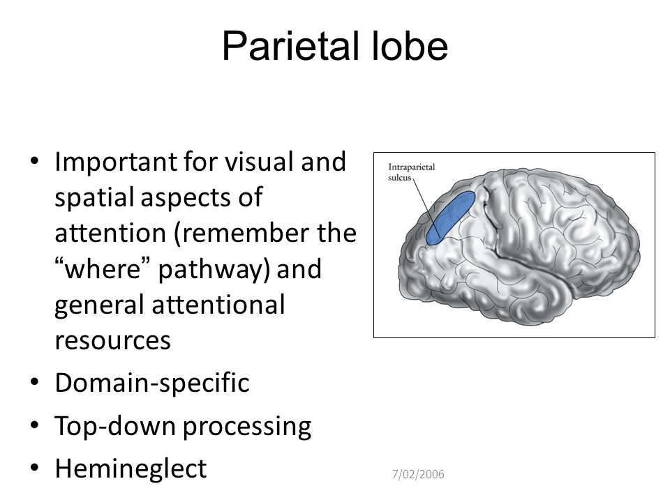 Parietal lobe Important for visual and spatial aspects of attention (remember the where pathway) and general attentional resources.