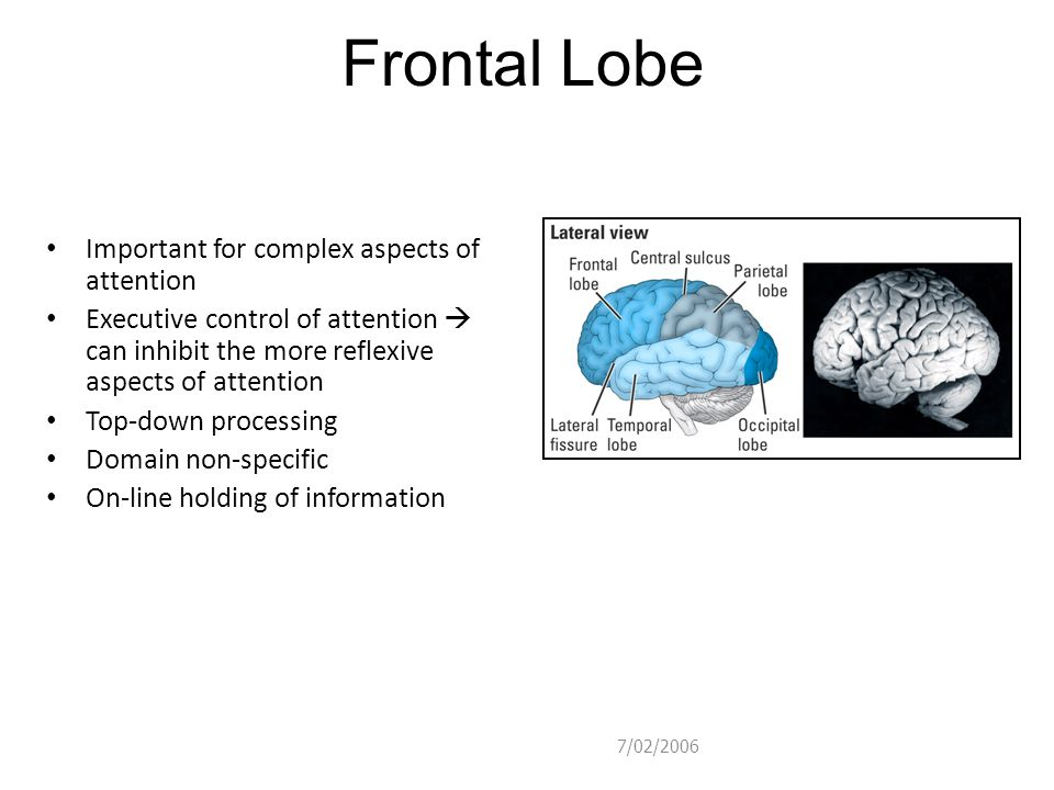 Frontal Lobe Important for complex aspects of attention