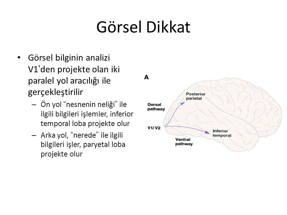 Görsel Dikkat Görsel bilginin analizi V1'den projekte olan iki paralel yol aracılığı ile gerçekleştirilir.