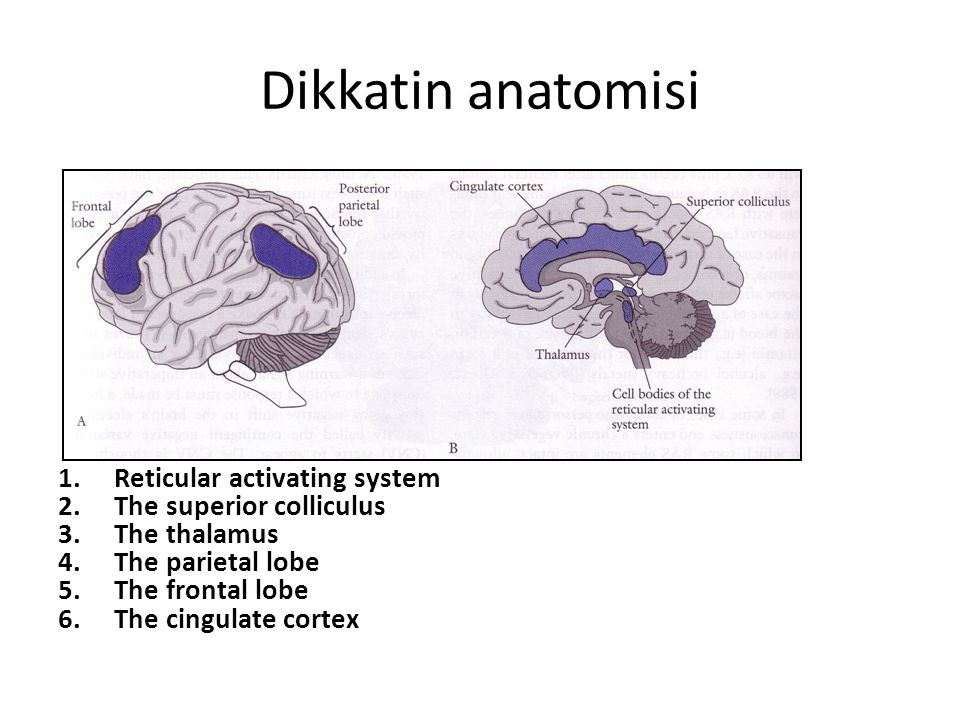 Dikkatin anatomisi Reticular activating system The superior colliculus