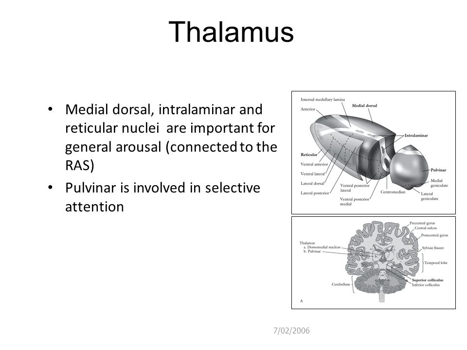 Thalamus Medial dorsal, intralaminar and reticular nuclei are important for general arousal (connected to the RAS)