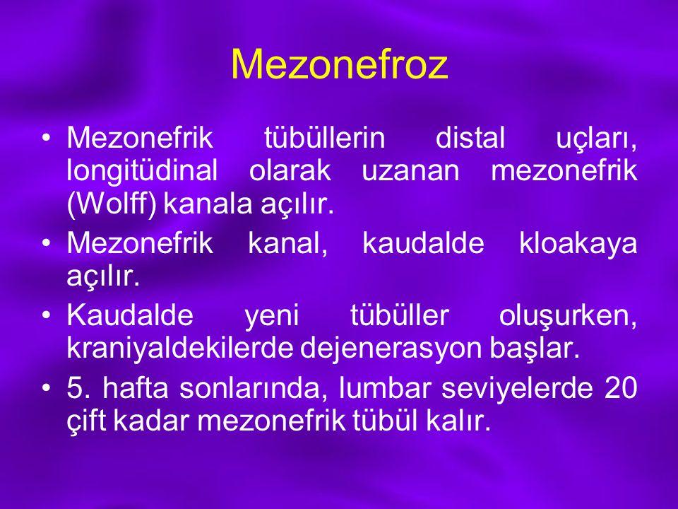 Mezonefroz Mezonefrik tübüllerin distal uçları, longitüdinal olarak uzanan mezonefrik (Wolff) kanala açılır.