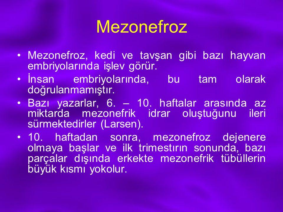 Mezonefroz Mezonefroz, kedi ve tavşan gibi bazı hayvan embriyolarında işlev görür. İnsan embriyolarında, bu tam olarak doğrulanmamıştır.