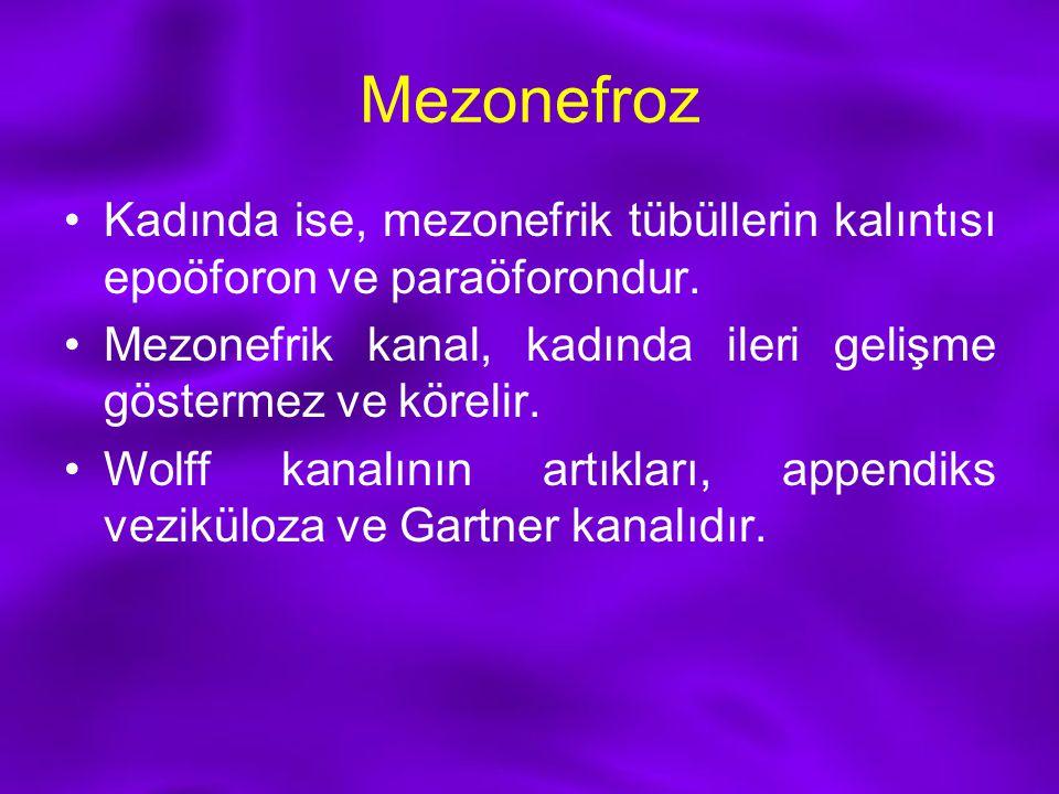 Mezonefroz Kadında ise, mezonefrik tübüllerin kalıntısı epoöforon ve paraöforondur. Mezonefrik kanal, kadında ileri gelişme göstermez ve körelir.