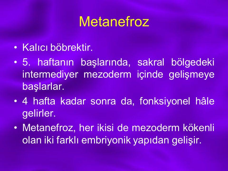 Metanefroz Kalıcı böbrektir.