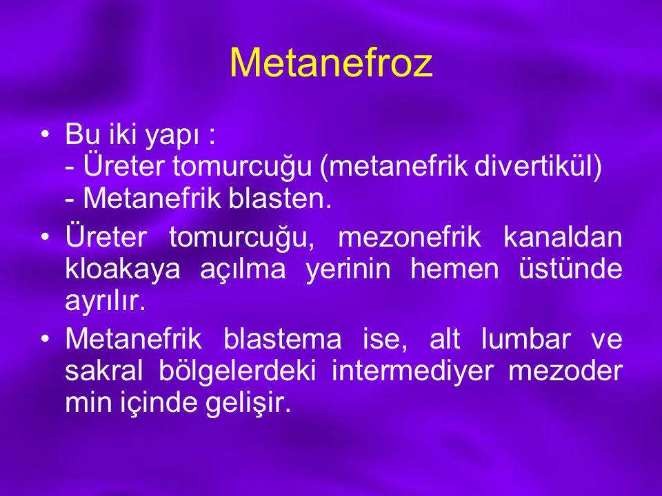 Metanefroz Bu iki yapı : - Üreter tomurcuğu (metanefrik divertikül) - Metanefrik blasten.