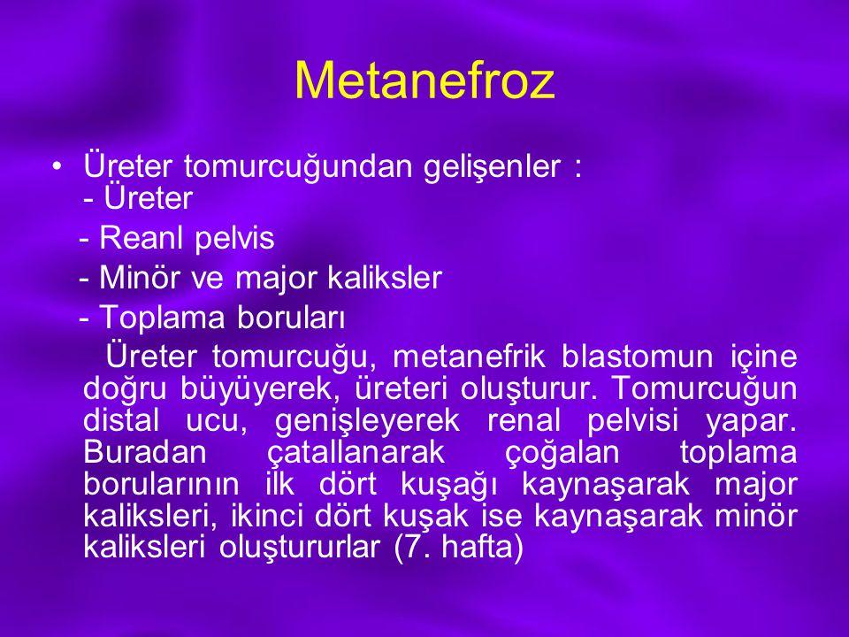 Metanefroz Üreter tomurcuğundan gelişenler : - Üreter - Reanl pelvis