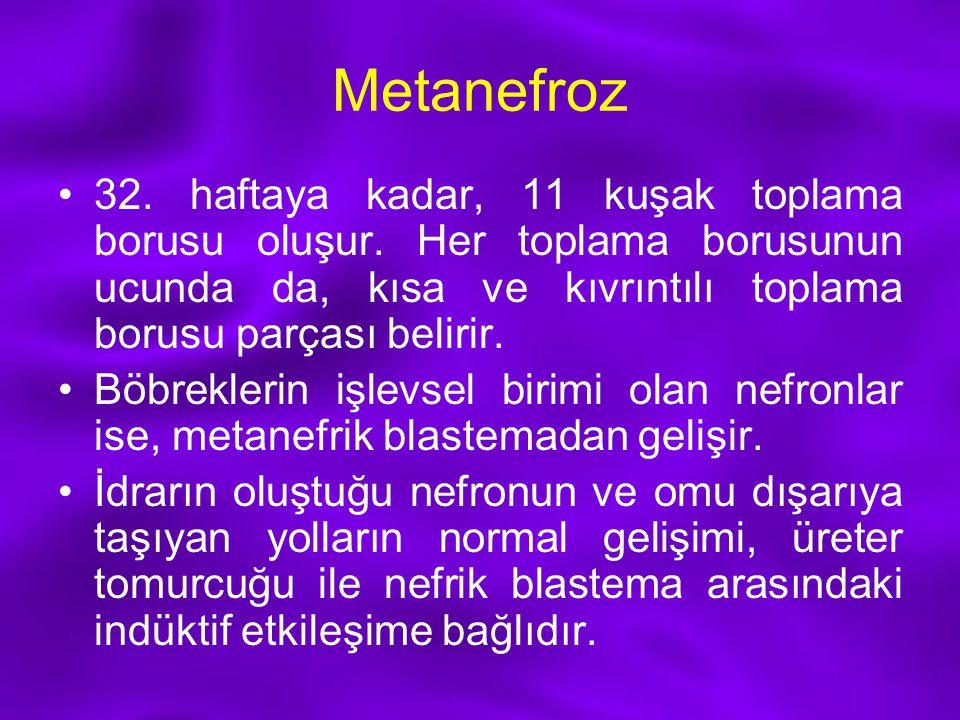 Metanefroz 32. haftaya kadar, 11 kuşak toplama borusu oluşur. Her toplama borusunun ucunda da, kısa ve kıvrıntılı toplama borusu parçası belirir.