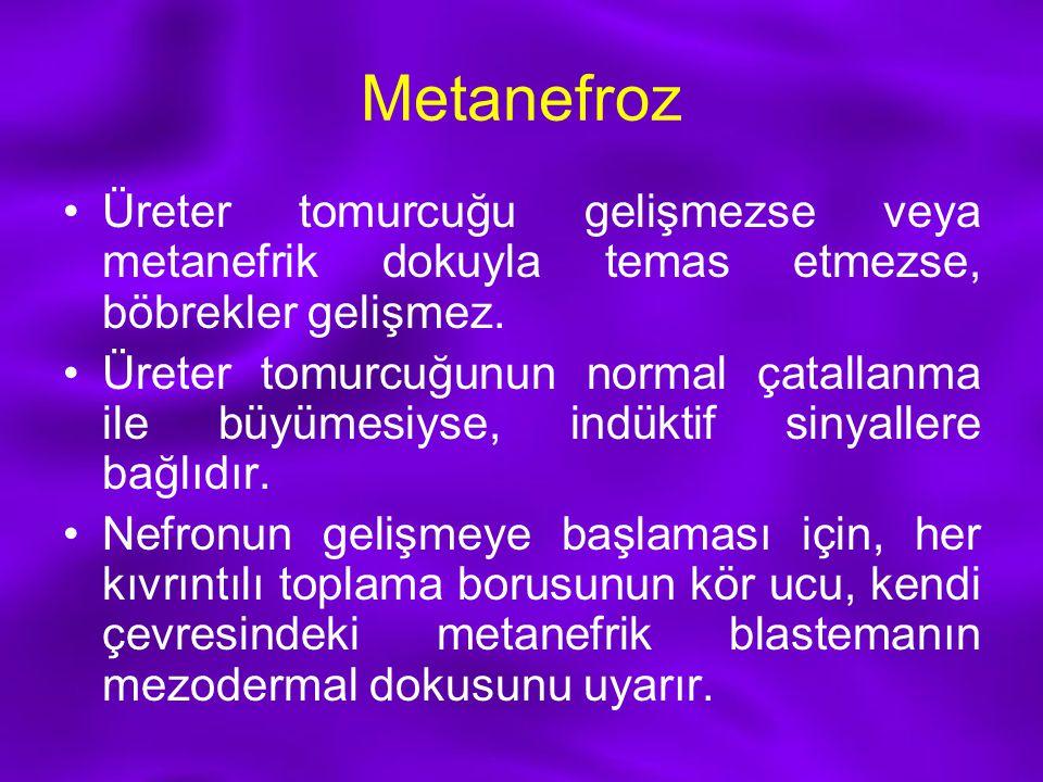 Metanefroz Üreter tomurcuğu gelişmezse veya metanefrik dokuyla temas etmezse, böbrekler gelişmez.