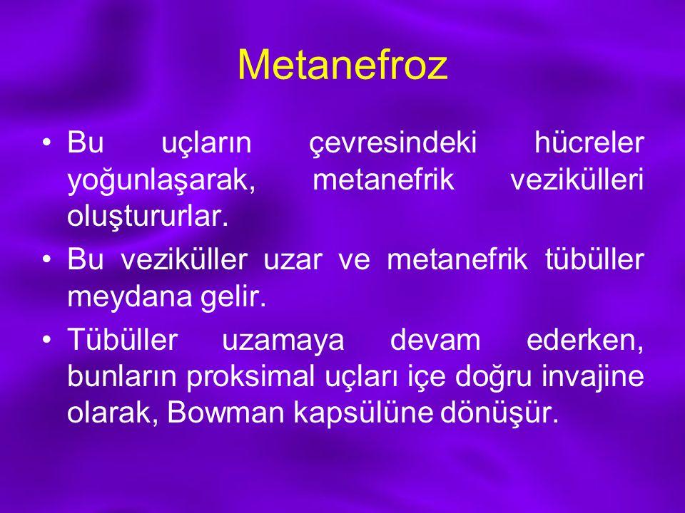 Metanefroz Bu uçların çevresindeki hücreler yoğunlaşarak, metanefrik vezikülleri oluştururlar.